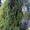 Саженцы (посадочный материал) декоративных растений в г. Минске #1493936