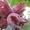 саженцы фундука краснолистного и зеленолистного #1535578