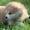 Щенки,  японской- акита-ину,  тигровые и рыжие #1628923