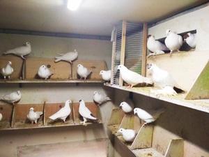 белые голуби минск - Изображение #2, Объявление #1679980