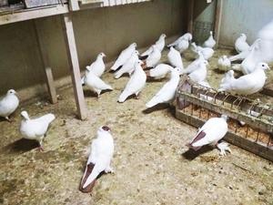 белые голуби минск - Изображение #3, Объявление #1679980