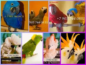 Попугаи - абсолютно ручные птенцы из питомников Европы - Изображение #1, Объявление #423747