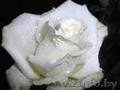 Саженцы клематисов,  роз и других декоративных кустарников из личной ко