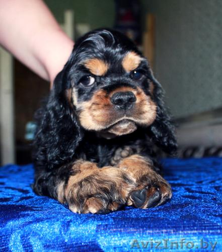 Black cocker spaniel puppy
