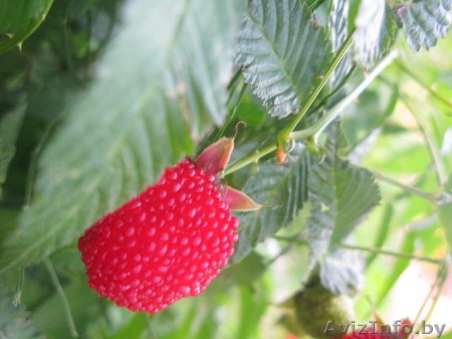 гибрид клубника-малина фото