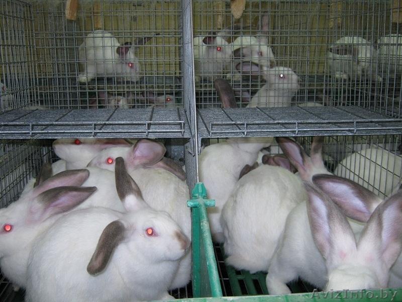 такое какая порода мясных кроликов самая лучшая отзывы виду