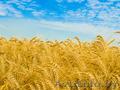 продаем пшеницу, ячмень.