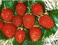 саженцы клубники сорта