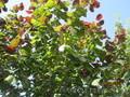Фундук (орех) краснолистный и зеленолистный