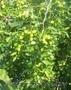 Зизифус - Унаби - Китайский морозостойкий финик , Объявление #864332