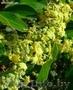Зизифус - Унаби - Китайский морозостойкий финик  - Изображение #2, Объявление #864332