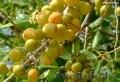 Зизифус - Унаби - Китайский морозостойкий финик  - Изображение #3, Объявление #864332