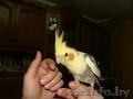 Ручные попугаи корелла