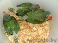 Ручной Александрийский попугай