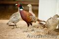 Продам охотничьих фазанов.
