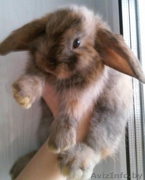 Вислоухий баран кролик уход