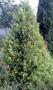 Саженцы (посадочный материал) декоративных растений в г. Минске - Изображение #2, Объявление #1493936