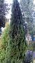 Саженцы (посадочный материал) декоративных растений в г. Минске
