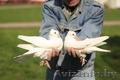 Голуби на свадьбу пара голубей пара белых голубей белые голуби свадьба