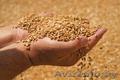 Организация купит зерно., Объявление #1513245