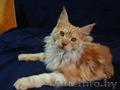 Очаровательный котик Мейн-кун
