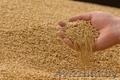 Закупаем зерно фуражное по всей РБ., Объявление #1527920