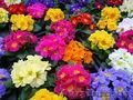 Цветы  Примула к 14 февраля