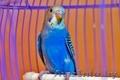 Волнистый попугай птенцы