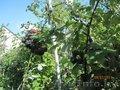 саженцы чёрной малины Кумберленд с закрытой корневой системой.
