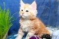 Очаровательные котята Мейн-кун