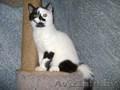 Шотландский короткошёрстный  котёнок с документами