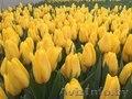 Продажа тюльпанов к 8 марта!