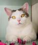 Кошка УМКА –блондинка - вундеркот