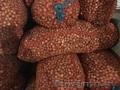 """Лук севок сорт  """"Штудгарден"""" 2 группа - Изображение #2, Объявление #1612366"""