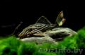 Панак Армбрустера,  L027 (Panaque armbrusteri,  L027)