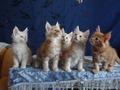 Породистые котята Мейн-Кун