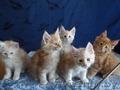 Породистые котята Мейн-Кун - Изображение #2, Объявление #1614737