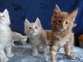 Породистые котята Мейн-Кун - Изображение #3, Объявление #1614737