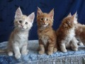 Породистые котята Мейн-Кун - Изображение #4, Объявление #1614737