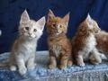 Породистые котята Мейн-Кун - Изображение #5, Объявление #1614737