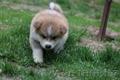 Акита-ину высокопородные щенки из проф.питомника, Объявление #1614922