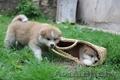 Акита-ину высокопородные щенки из проф.питомника - Изображение #3, Объявление #1614922