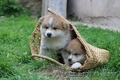 Акита-ину высокопородные щенки из проф.питомника - Изображение #4, Объявление #1614922