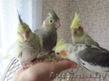 Корелла птенцы (нимфа) домашниче ручные