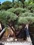 Приведем в порядок посадки хвойных растений