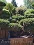 Приведем в порядок посадки хвойных растений - Изображение #3, Объявление #1621739