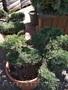 Приведем в порядок посадки хвойных растений - Изображение #2, Объявление #1621739