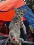В дар: юная котейка Аврора ищет дом!