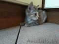 В дар: юная котейка Аврора ищет дом! - Изображение #5, Объявление #1625426