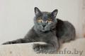 Бархат - британский кот в дар - Изображение #2, Объявление #1625337